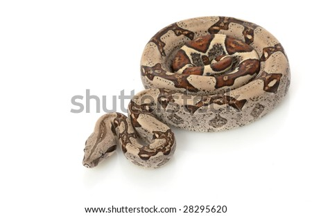 Jungle Columbian Red-tailed Boa (B.c. constrictor) isolated on white background.