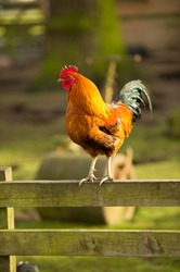 Jungle Fowl on fence rail in evening light with copy space and selective focus.
