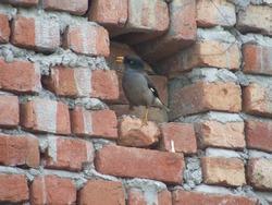 Jungle myna bird in hole in brick wall