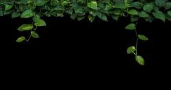 Jungle plant leaves background, heart-shaped green yellow leaves vine, devil's ivy, golden pothos hanging on black background.