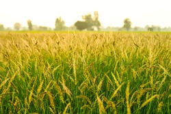 jungle rice, birdsrice,Echinochola colonumWeeds in rice fields The most similar to rice. Can be propagated quickly. Resistant to drought and herbicides spread in Southeast Asia, Thailand, Laos, Myanma