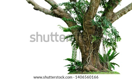 Jungle tree trunk with climbing Monstera (Monstera deliciosa), bird's nest fern, philodendron and forest orchid green leaves tropical foliage plants isolated on white background with clipping path.