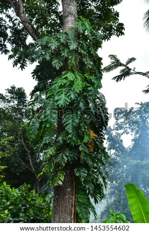 Jungle tree trunk with climbing Monstera (Monstera deliciosa), philodendron and forest orchid green leaves tropical foliage plants