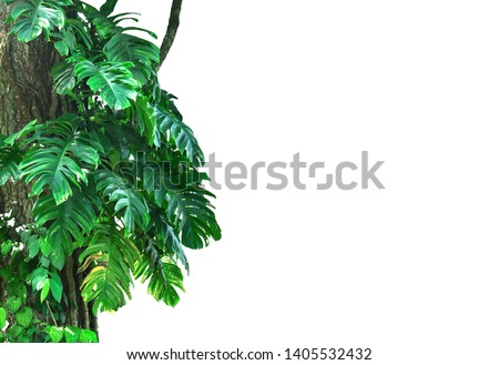 Jungle tree trunk with tropical foliage plants, climbing Monstera (Monstera deliciosa) and forest orchid green leaves growing in wild isolated on white background with clipping path
