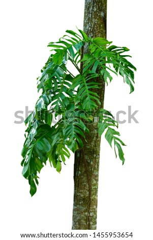 Jungle tree trunk with tropical foliage plants, climbing Monstera (Monstera deliciosa) and forest orchid green leaves growing in wild isolated on white background
