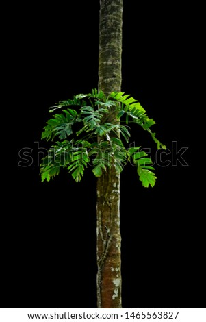 Jungle tree trunk with tropical foliage plants, climbing Monstera (Monstera deliciosa) and forest orchid green leaves growing in wild isolated on black background with clipping path