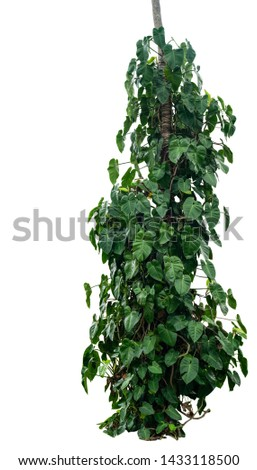 Jungle tree trunk with tropical foliage plants, climbing Monstera (Monstera deliciosa) and heart shaped dark green leaves growing in wild isolated on white background with clipping path.