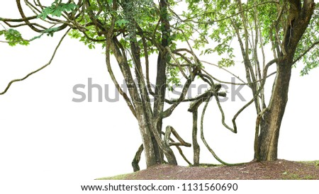Jungle trees with large vines liana plant climbing and twisted around on tree trunks isolated on white background.