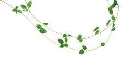 Jungle vines liana plant with heart shaped green leaves of Cowslip creeper (Telosma cordata), nature frame layout isolated on white background with clipping path.