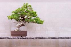Juniper Bonsai - Juniperus chinensis