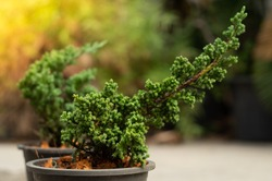 Juniper bonsai tree with yellow , green blurry background in black pot and flares