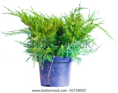 Juniper in a pot on a white background