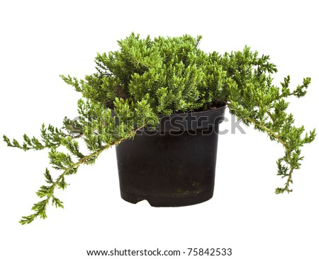 juniper (Juniperus) tree isolated on a white