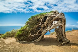 Juniper tree bent by wind at El Hierro; Canary Islands