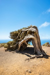Juniper tree bent by wind. Famous landmark in El Hierro, Canary Islands. High quality photo
