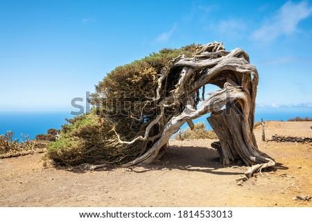 Juniper tree bent by wind. Famous landmark in El Hierro, Canary Islands. High quality photo Stock fotó ©