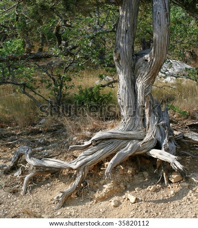 Juniper tree growing on rocks of Crimea, Ukraine