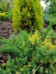 Juniperus chinensis Expansa Variegata with yellow and green needles on a mulched pine bark bed on the background of yellow thuja and other coniferous plants. flower Wallpaper