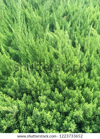 Juniperus chinensis is a coniferous evergreen shrub that grows as a shrub or tree with a very variable shape. #1223733652