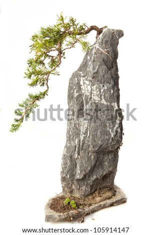 Juniperus communis supsp.nana bonsai on white