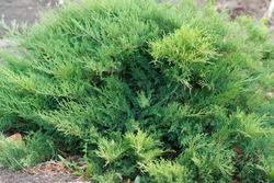 Juniperus horizontalis. Creeping juniper. Sabina creeping. popular ornamental shrub for gardening.