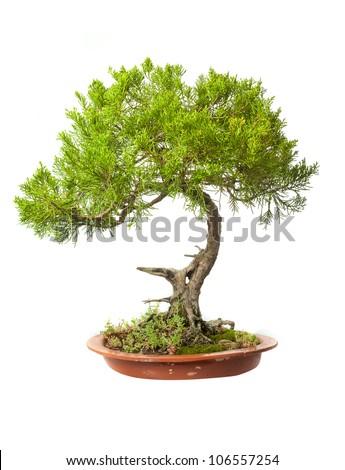 Juniperus sabina bonsai isolated on white