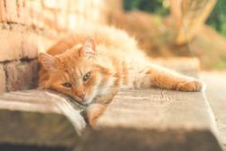 Just awakened ginger cat liyng in the garden.