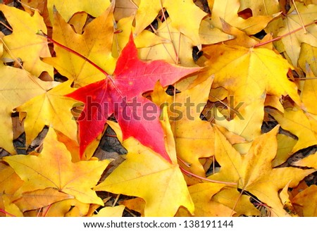 Just be the one, red maple leaf. A red maple leaf in the middle of many of yellow