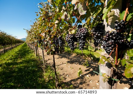 Just before harvest - Wide angle photo of vineyard in autumn with lots of grapes in vipava valley