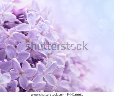 Just blooming lilac flowers. Abstract background. Macro photo.