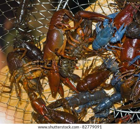 just caught crayfish in net