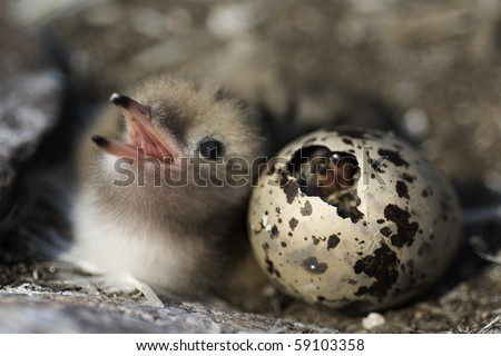 Just hatching baby bird Common Tern. Russia.Ladoga Lake.