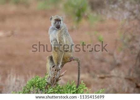 Just posing, Yellow Baboon in the Tsavo West NP, Kenya
