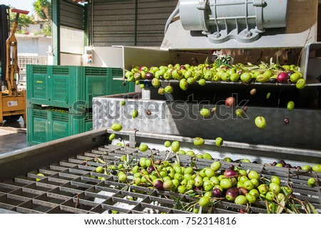 Just washed olives falling through a defoliator filter in the machine for milling #752314816