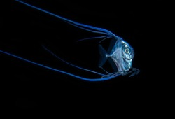 Juvenile African Pompano Blackwater Diving Underwater Photo