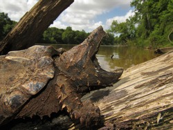 Juvenile Alligator Snapping Turtle (Macrochelys temminckii) backing on log, Mississippi