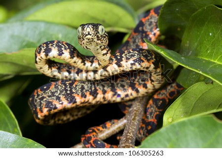 Juvenile Amazon Tree Boa (Corallus hortulanus) Climbing in a bush in the Ecuadorian Amazon