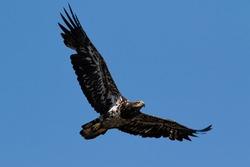 Juvenile American Bald Eagle hunting springtime fishing grounds