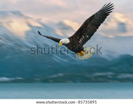 juvenile american bald eagle in flight, in alaska and illustrated over homer harbor