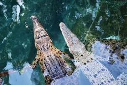 Juvenile australian crocodiles in Darwin, Australia.