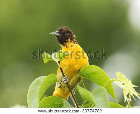 juvenile baltimore oriole perched on a shrub branch