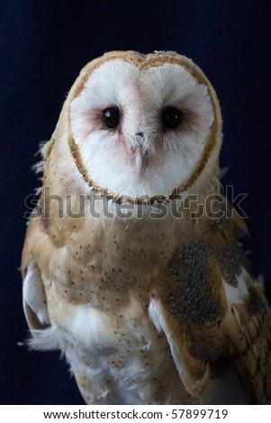 Juvenile Barn Owl