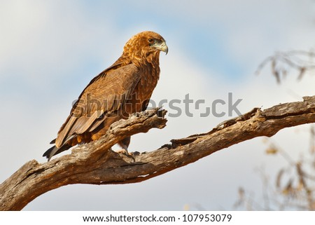 Juvenile bataleur eagle sits patiently on a branch, South Africa