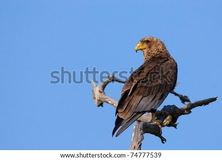 Juvenile Bateleur eagle perched on dead tree