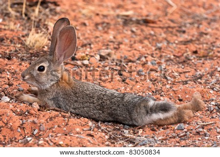 Juvenile Black Tailed Desert Jack Rabbit
