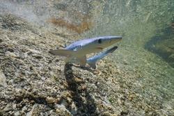 Juvenile blue shark, Prionace glauca, underwater in shallow water, Atlantic ocean, Galicia, Spain