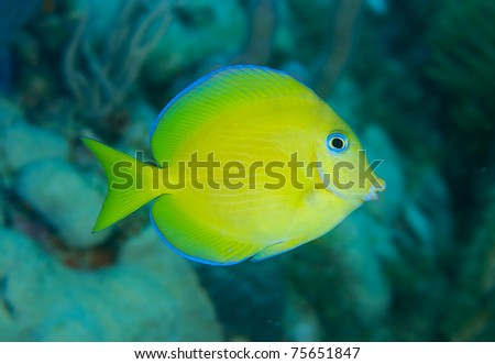Juvenile Blue Tang, picture taken in south east Florida.
