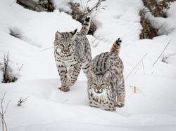 Juvenile Bobcat kittens in the snow