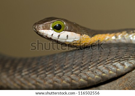 Juvenile Boomslang (Dispholidus typus) in South Africa