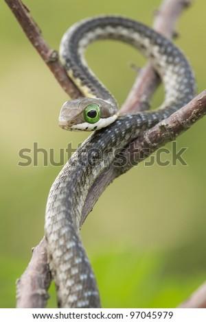 Juvenile Boomslang snake (Dispholidus typus)
